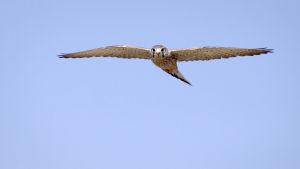 En flygande tornfalk