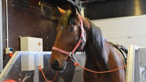 Bild på trav hästen Qashqai.