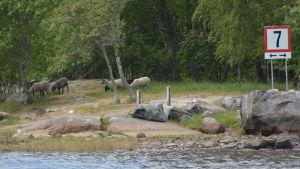 Får på sommarbete på Smörgrundet i Jakobstad