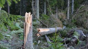 Träd fällt av stormen.