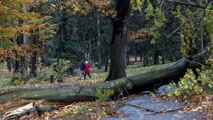 Ett omkullblåst träd i en park i Prag.