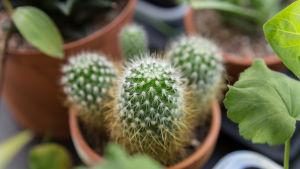 En liten taggig kaktus i en kruka