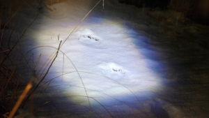 vargspår i snön