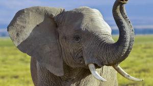 Elefant i nationalpark i Kenya.