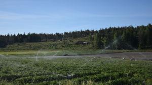 Jordgubbsodling
