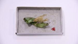 Överlopps vätska som behövs för att veckla ut fjärilsvingarna har blivit kvar i form av en liten röd prick