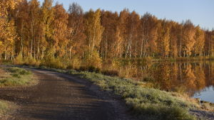 Metviksstranden i höstljus med gula björklöv i förmiddagsljus.