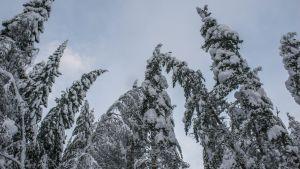 Snön tynger ned grenar.
