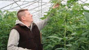 Johan Kinos sträcker sig mot toppen av en tomatplanta i ett av sina glasväxthus.