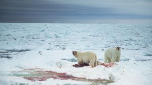 Jääkarhut syövät hylkeenraatoa Huippuvuorilla.
