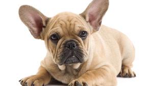 En liggande Fransk Bulldog.