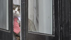 Julian Assanges katt tittar ut genom fönstret på Ecuadors ambassad