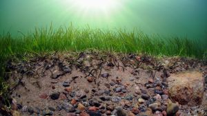 Ålgräset binder sand. Utan växten eroderas bottnen och stenar kommer fram.