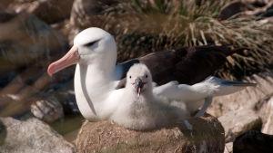Albatross med unge.