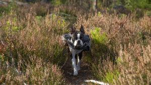 Hund med ryggsäck i skogen.