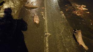 Döda fiskar på stamväg 183 på Kimitoön.