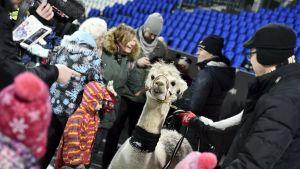 En alpacka är med och firar Finland i Tölö fotbollsstadion.