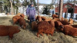 En overallklädd ung man står mitt bland bruna, ulliga grisar i vinterväder