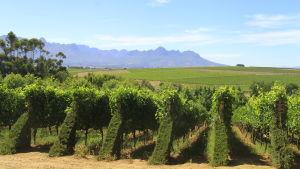 Vinproduktionen är viktig för sydafrikanerna – också för ekonomin. Bara hälften av det som produceras exporteras, resten sörplas upp i hemlandet.