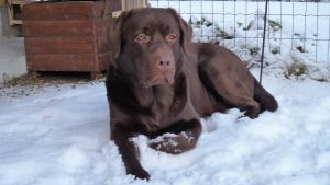 Labradoren Paavo i snön på gården. Han bär resistenta bakterier.