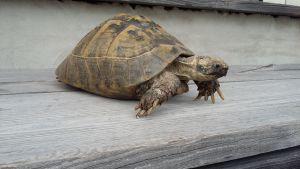 Sköldpaddan Sköldis i Ingå närmar sig 70 år