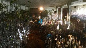 Äppelplantor uppradade i en ladugård i Estland för övervintring