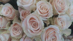 Champagnefärgade rosor.