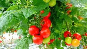 Tomatodling, Flera tomatklasar