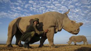 Sudan, världens sista nordliga vita noshörning.