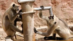 apor dricker vatten