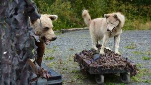 Konstgjord björn och varg.