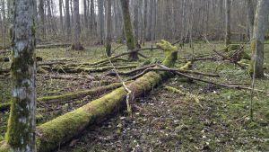 omkullfallna träd i skogsmiljö