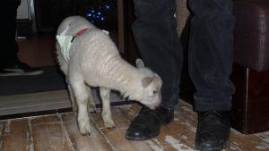 ett litet vitt lamm som snusar på skorna på en man som står inne i ett café.