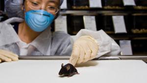 kvinna i vita kläder och munskydd håller i svansen på en mus som stå rpå ett bord.