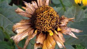 närbild av vissen blomma i trädgård