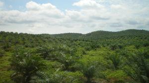 En oljepalmsodling i Malaysia.