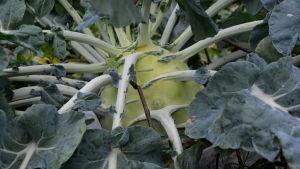 Jättekålrabbi växer i trädgårdsland.
