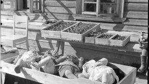 Lastenkoti, jossa hoidetaan toipilaita Aunuksen lastensairaalasta. Tuki: Rajaseudun ystävät: Kahdenlaisia taimia: Etualalla pienet aunukselaislapset auringonkylpyä ottamassa. Taustalla vastaavassa asemassa tomaatintaimet.