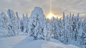 En skog med snöklädda träd. Solen skymtar fram bakom träden.