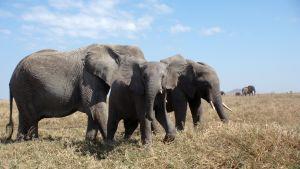 Torkan tvingar elefanter att söka mat och vatten på nya ställen. När de rör sig i närheten av människorna ställer de till med en hel del förtret för invånarna. Bild. YLE/Kirsi Vähäsöyrinki