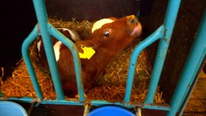 Kalv i YA:s ladugård