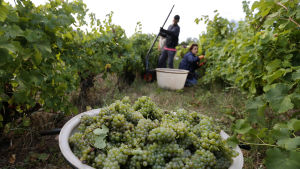 Vinskörd i södra Frankrike.