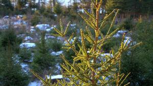Granar som odlas i skogen