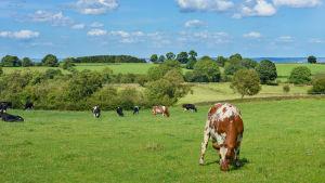 Kor på bete på en äng.