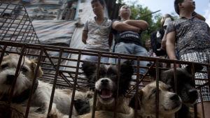 Hundar till försäljning i Yulin under fjolårets hundköttsfestival 21.6.2015