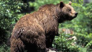 Våt brunbjörn