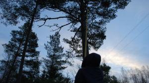 Skogsarbetare sågar ner gren med såg på teleskopskaft.