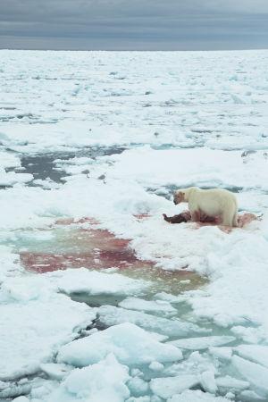 Jääkarhut syö hylkeenraatoa Huippuvuorilla.
