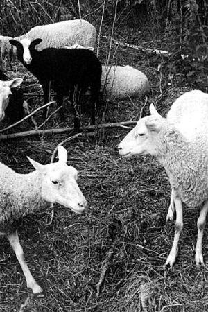Lamm, 1986 Arja Lento/Yle