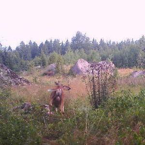 Ann-Helens viltkamera tog detta foto på en hjort. Vad är det för ett bihang den har under rumpan undrar hon.